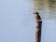 Kingfisher-1-3 (worlknut) Tags: birds fishing vibrant wildlife flash kingfisher pennington songbirds