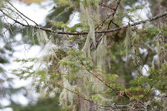 Usnea Lichens on Big Pete Road (Laura Erickson) Tags: plants wisconsin places lichen oldmansbeard usnea portwing bayfieldcounty bigpeteroad