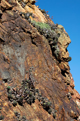 Neoporteria chilensis (Umadeave) Tags: chile cactus montagne plante flora chili desert flore chilensis eriosyce neoporteria
