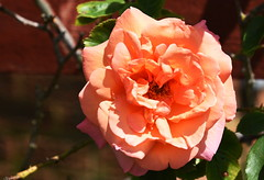 DSC_1579 Rose (PeaTJay) Tags: flowers roses plants macro nature rose gardens fauna outdoors reading flora micro closeups berkshire rosebuds lowerearley nikond750