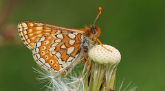 Marsh Fritillary 260516 (2) (Richard Collier - Wildlife and Travel Photography) Tags: macro wildlife ngc butterflies insects naturalhistory british brilliant marshfritillary