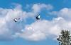 Kronenkraniche (SK snapshots) Tags: kronenkranich kronenkraniche kraniche kranich bogel bird birds vögel animals weltvogelpark walsrode vogelpark sksnapshots nikon d750 flugshow