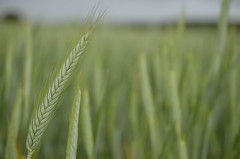 cereal (Visantico) Tags: naturaleza macro nature nikon cereal campo burgos d7000