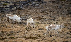 Rendeer roaming free - HFF! (lunaryuna) Tags: beauty season iceland spring wildlife north furryfriday lunaryuna eastfjords rendeer easticeland seasonalchange roamingwildly hffanimals