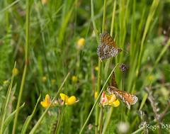 Batifolons les amis... (Rgis B 31) Tags: calmont mellictaathalia mlitedesmelampyres nymphalidae orchide papillon vol