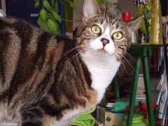 la lili 2007 (alexandrarougeron) Tags: lili poupouce chat chatte cat poli oeil moustache beaut belle beau magnifique excellent rebelle douce bisous clin canaille paris lige montmartre douceur gentille vert poil fourrure minou