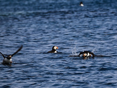 (FotoGis) Tags: cornwall puffin papageientaucher