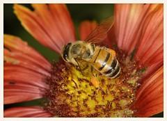 Honeybee (gauchocat) Tags: arizonasonoradesertmuseum tucsonarizona