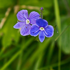 speedwell common (JOHN BRACE) Tags: park veronica common seen tilgate crawley speedwell filiformis