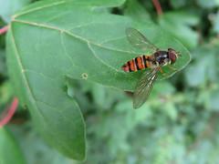 Le Syrphe ceintur (Episyrphus balteatus) (Didier Auberget Photographie) Tags: macro fly hoverfly insecte mouche syrphidae episyrphusbalteatus syrphe diptre syrphide syrpheceintur