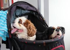 Doggy Buggy (Stuart Axe) Tags: dog pet doggy doggie buggy cavalierkingcharlesspaniel kingcharlesspaniel spaniel countyofnorfolk