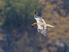 With food for a weekend (degenerator of ideas) Tags: bird nature wildlife vulture
