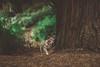 Sage (Jake Arciniega) Tags: pomchi pomeranian chihuahua portland oregon bokeh canon7dmarkii 50mm14 vscofilm vsco lightroom