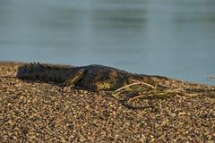 Zambia_  20162016-05-0216-04-09 (C_Baltrusch) Tags: christian safari crocodile afrika zambia krokodil sambesi selfdrive sambia zambeziriver baltrusch
