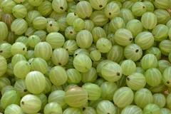 Under the Gooseberry Bush (hapsnaps) Tags: summer baby green harvest hampshire southampton gooseberries 2016 allswell newgrandchild hapsnaps underthegooseberrybush