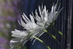 windy (nirak68) Tags: fence deutschland wind doubleexposure sommer marguerite blau zaun lbeck asteraceae ger leucanthemum margeriten oxeyedaisy mehrfachbelichtung korbbltler 188366 schleswigholsteinkreisfreiehansestadtlbeck 2016ckarinslinsede