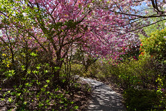 Arch of Pink Blossoms (Jocey K) Tags: flowers newzealand christchurch spring shadows blossom rhododendron cherryblossom azalea pathway ilamgardens