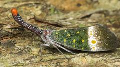 Lantern Bug (zleng) Tags: macro nature up closeup insect nose colorful close spotted winged macroshot macrophotography hemiptera naturecloseup insectcloseup lanternbug fulgoridae lanternfly macrodreams elongatednose