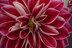 Dahlia (Harry McGregor) Tags: flower plant dahlia pattern texture flowershow ayrflowershow 6 august 2016 ayr south ayrshire scotland nikon d3300 macro