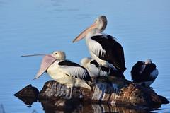 Pelican yawn (Luke6876) Tags: bird animal wildlife pelican australianwildlife australianpelican
