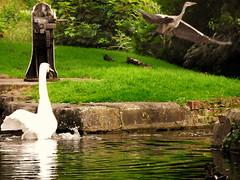 Emergency Take Off...4of4 (Nomadic074) Tags: nature ducks nottinghamshire muteswan greyheron chesterfieldcanal