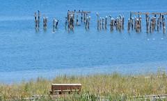 Waiting for the ferry, Anacortes, WA.  HBM (shireye) Tags: usa seagulls cormorants washington wa anacortes washingtonstate hbm alexanderbeach happybenchmonday bellinghamchannel