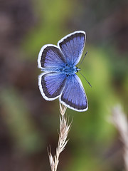 Silver-studded Blue (chaz jackson) Tags: silverstuddedblue plebejusargus lycaenidae blue butterfly insect macedonia