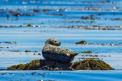 h seal1July16-16 (divindk) Tags: elesterobluffsstatepark phocavitulina beach cute harborseal marine marinemammal ocean perched sea seal spots sunshine tidepool tidepooling washrock whiskers