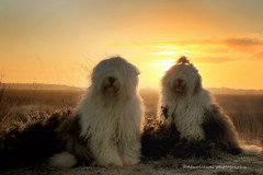 it's another beautiful day (dewollewei) Tags: old english dogs sunrise sheepdog bobtail oes oldenglishsheepdog sheepdogs oldenglishsheepdogs zonsopkomst dewollewei oldenglishsheepsdog