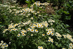 feverfew (haunted snowfort) Tags: flowers garden feverfew white beamsville ontario lincoln niagara canada gardening summer june