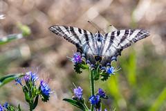 AMP_7943_1 (Amparo Hervella) Tags: mariposa butterfly naturaleza nature d7000 nikon nikond7000 comunidadespaola wewanttobefree