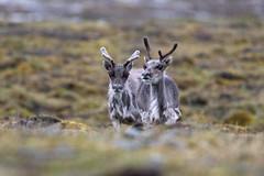 Svalbard Reindeer at Bjrndalen S24A0653 (grebberg) Tags: bjrndalen spitsbergen svalbard july 2016 mammal bovid reindeer svalbardreindeer rangifer rangifertarandus rangifertarandusplatyrhynchus