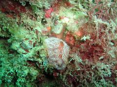 DurlBay 12 encrusting sea squirt (bloomspix) Tags: seasearch underwater englishchannel swanage