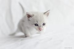 Casiopea (leporcia) Tags: animales animals animalplanet cat cats chat chatterie gatos gato gatto gatito katze katzen kitty kitten white sweet pet lovely innocence adorable
