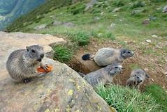 Murmeltiere (welenna) Tags: alpen alps animals tiere switzerland saasfee marmot murmeltier wallis wild