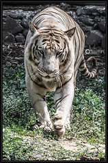 Face to face (Ramalakshmi Rajan) Tags: tiger whitetiger jublipark jamshedpur animals animal nikond5000 nikon nikkor18140mm