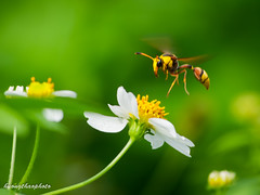 P201610-10 (Explored October 8, 2016) (Hng Tho (ake)) Tags: explored bee flowers closeup flying