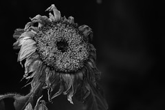 Withered (graemes83) Tags: pentax jupiter sunflower flash decay old withered