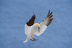 Gannet Landing (Golden_Arrow) Tags: gannet perce quebec bonaventure island