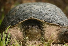 outstanding intimate portrait of a snapping turtle (GreenRavenPhotography.com) Tags: snappingturtle chelydraserpentina speciesatrisk atrisk rondeau nature animals wildlife ontario lake erie