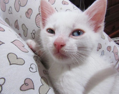 gfhfgh (Melody - Taverna da Lua) Tags: cat kitten neko whitecat heterocromia blueeye greeneye gato branco gatobranco gatinho