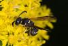 potter wasp on goldenrod KW 090216-1-2 (TER-OR) Tags: aurora illinois unitedstates potterwasp stiffgoldenrod fermilabnaturalareas