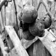 On the Fence  -80/100 (Firery Broome) Tags: grapes ripe withered vine fence wooden texture 100x2016 100xthe2016edition image80100 straightoutofthecamera noediting cellphone phonephoto iphone iphone5s iphoneography phoneography apps hipstamatic lowylens blackeysxffilm blackandwhite blackwhite bw monochrome dof square nature naturelovers naturetakesover earthnature iphonenature squarenature closeup fencefriday fairhill cecilcounty maryland marylandnature blackandwhitenature 365