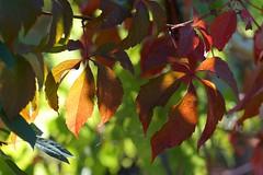 *** (Vladi_L) Tags: nature nx300 nx samsung fall autumn leaf manual m42 jupiter37a jupiter