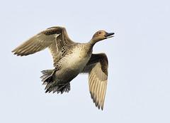 northern pintail in flight_DSC7057 (neilfif11) Tags: india birds delhi flight ducks nikond810 nikon3004mmlens