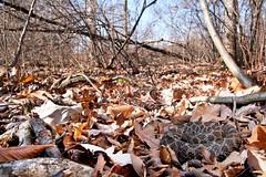 Eastern Massasauga Rattlesnake (Nick Scobel) Tags: snake michigan pit endangered fangs viper eastern venomous rattler sistrurus massasauga catenatus rattlensnake