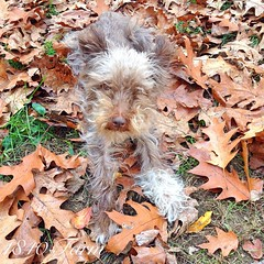 "Here's our New England farm dog playing in the fallen leaves this afternoon. This is Pete Townshend, our Miniature Schnauzer. What he lacks in size, he more than makes up for in terrier personality. At least he sat still long enough for me to get a pictur • <a style=""font-size:0.8em;"" href=""http://www.flickr.com/photos/54958436@N05/15466023659/"" target=""_blank"">View on Flickr</a>"