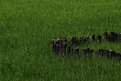 Fencing the paddy field (Meena Raghavendra) Tags: india fence karnataka paddyfields shimoga thirthahalli 55250mm canon550d