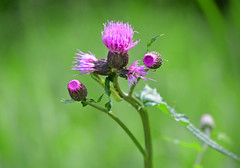 No-azami: Japanese thistle (plural flowerheads) (qooh88) Tags: wild green thistle magenta wildflower  cirsium flowerhead        carduoideae  japanesethistle    cirsiumjaponicum