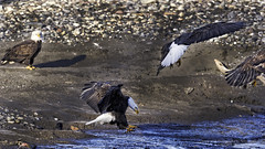 American Bald Eagle (Hawg Wild Photography) Tags: bird nature birds eagle wildlife bald american raptor raptors terrygreen nikon600mmvr nikond4s